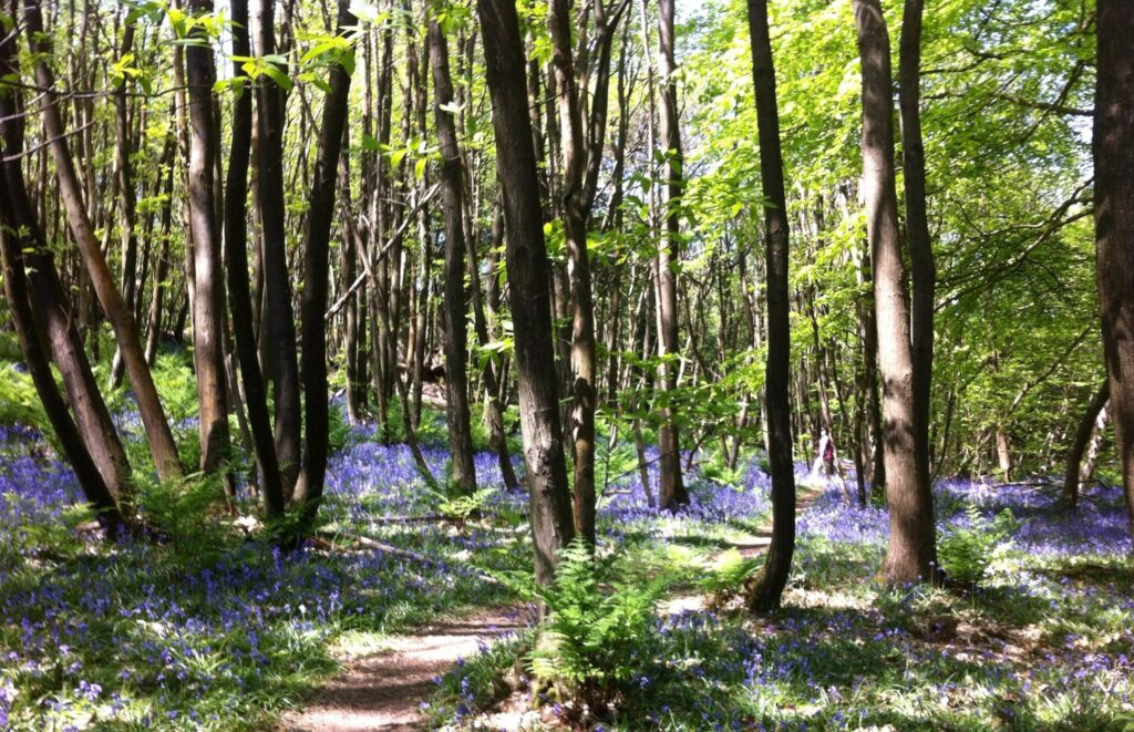 Picture of bluebell wood